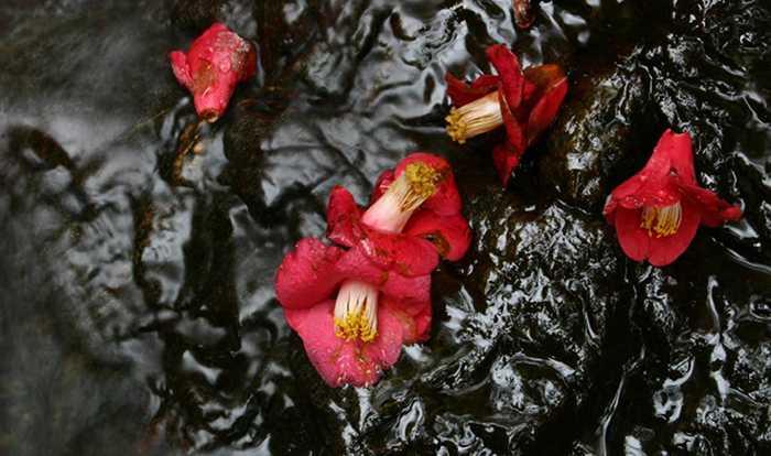 Fallen Camellia flowers