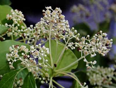 Cinnamomum camphora flowers