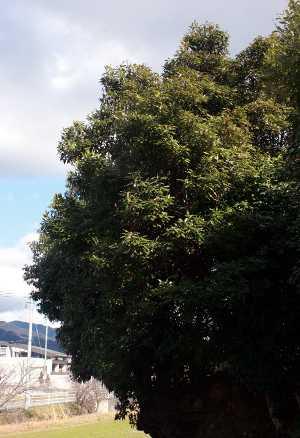 Neolistea sericea tree