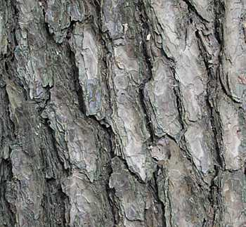 Pinus densiflora bark