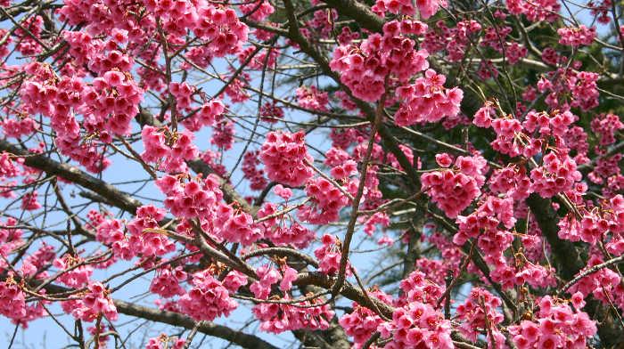 Prunus campanulata