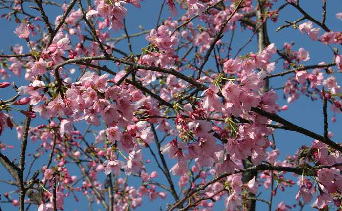 Prunus x okame