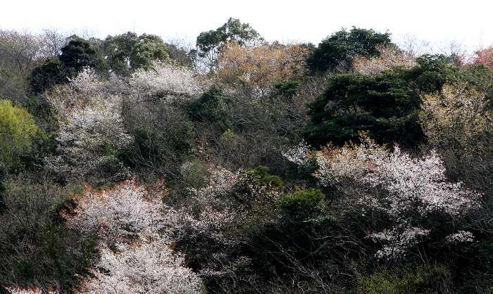 Prunus jamazakura