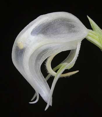 Pterostylis nutans alba flower
