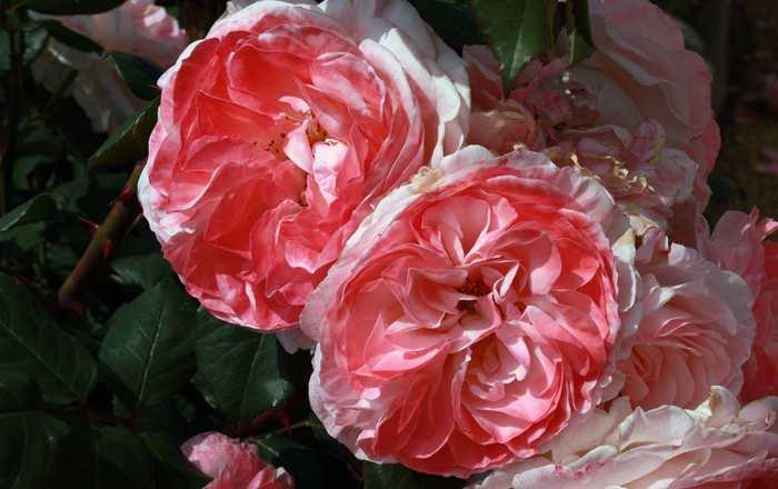 Rosa English Miss