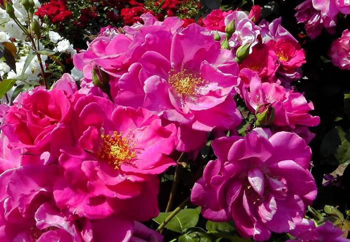 Rosa News