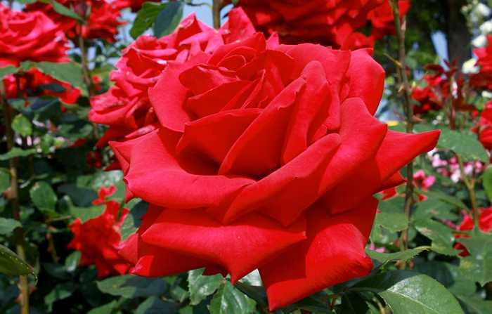 Rosa President L. Senghor
