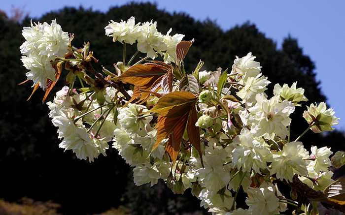 Prunus 'Ukon'