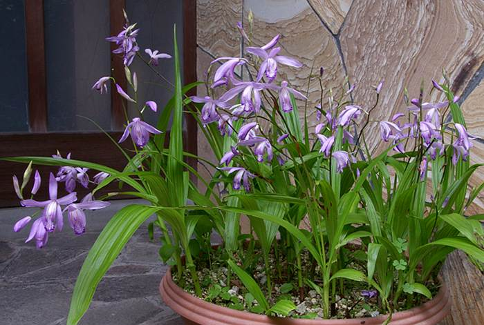Bletilla striata 'Soyru' plant