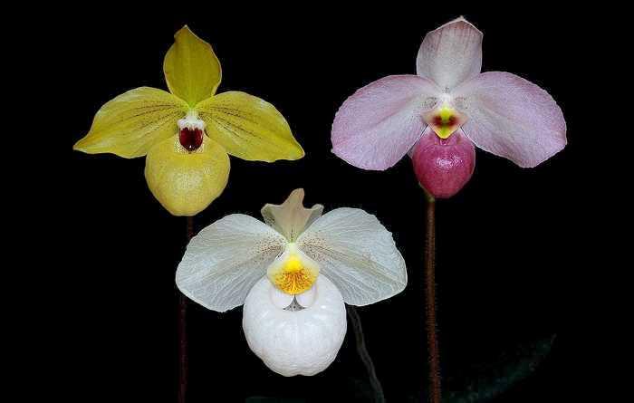 Three Parvisepalum Paph hybrids