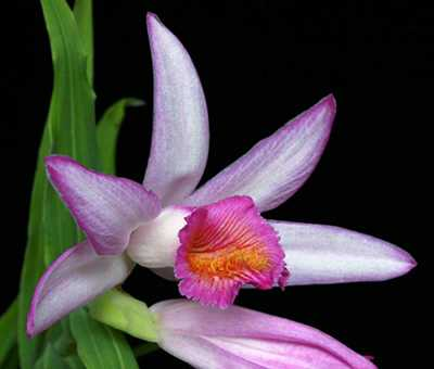 Thunia bensoniae flower