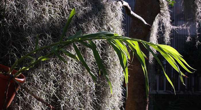 Thunia bensoniae mature plant