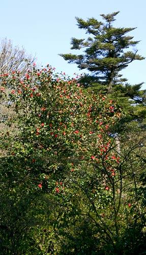 Camellia japonica tree