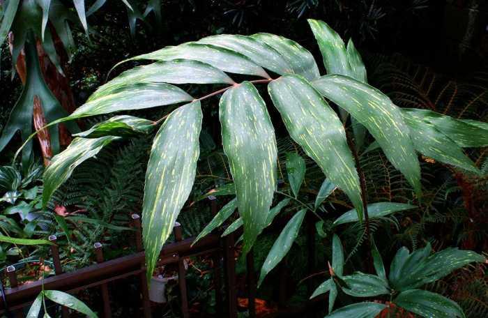 Zamia variegata mature frond